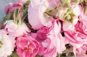 2000x1331-damasceense-rozen-geplukt